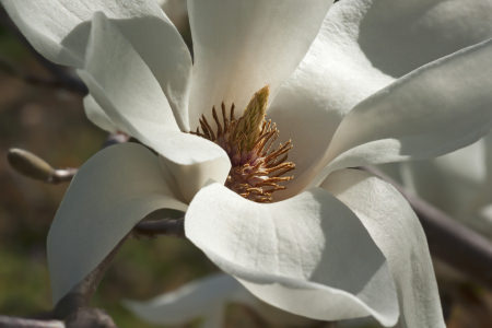 Yulan magnolia (Magnolia denudata). Called Lilytree also. Another scientific name is Yulania denudata