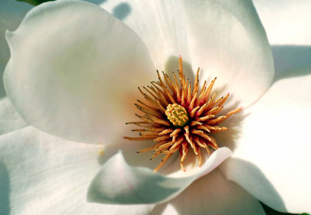 Inside of a magnolia flower with stamen en petals